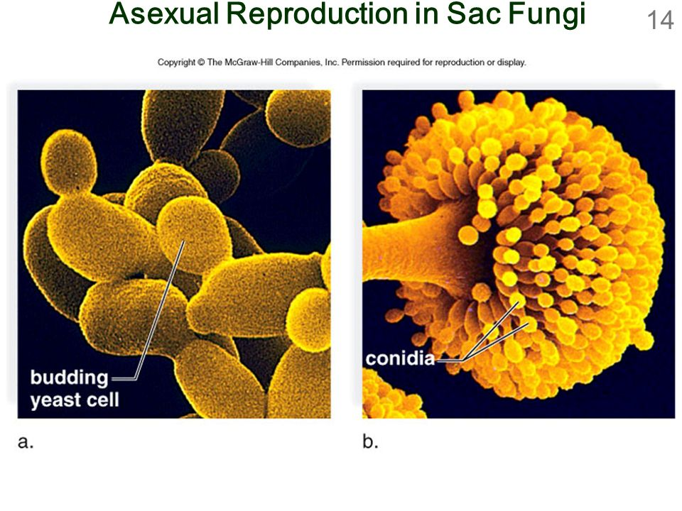 Asexual Reproduction in Sac Fungi