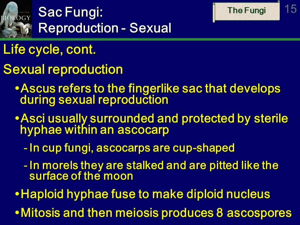 Sac Fungi: Reproduction - Sexual