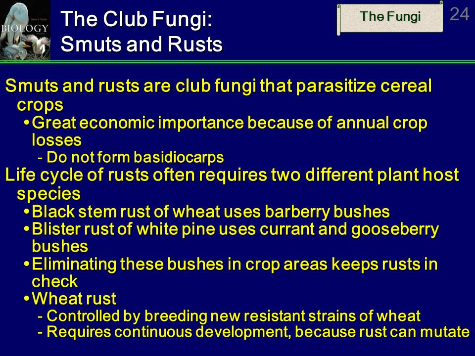 The Club Fungi: Smuts and Rusts