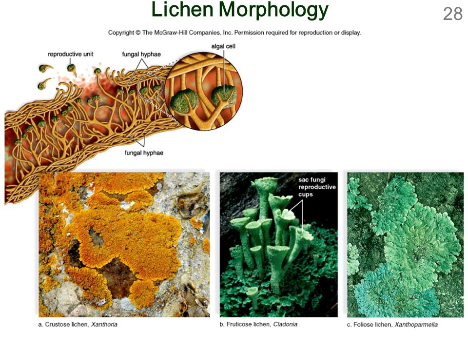 Lichen Morphology