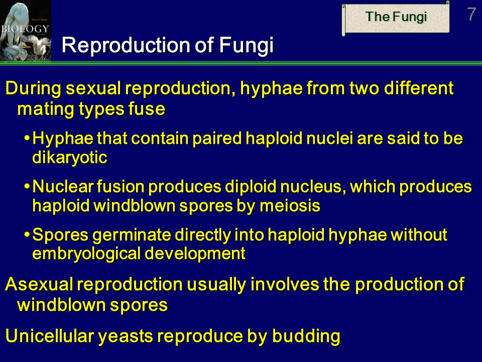 Reproduction of Fungi During sexual reproduction, hyphae from two different mating types fuse.
