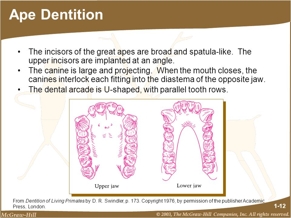 Ape Dentition The incisors of the great apes are broad and spatula-like. The upper incisors are implanted at an angle.