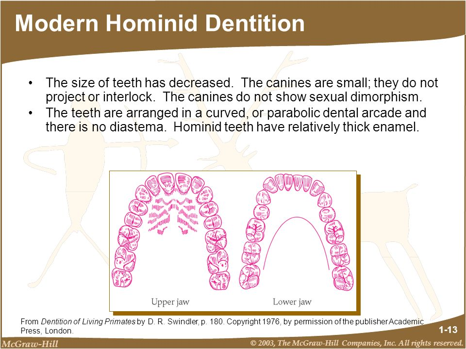 Modern Hominid Dentition