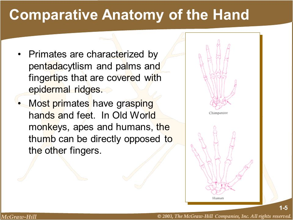 Comparative Anatomy of the Hand