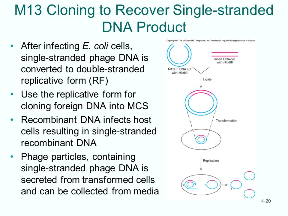 M13 Cloning to Recover Single-stranded DNA Product