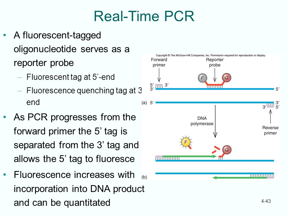 Real-Time PCR A fluorescent-tagged oligonucleotide serves as a reporter probe. Fluorescent tag at 5'-end.