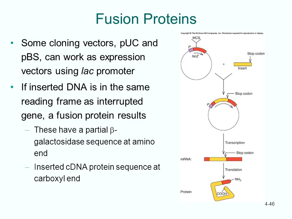 Fusion Proteins Some cloning vectors, pUC and pBS, can work as expression vectors using lac promoter.