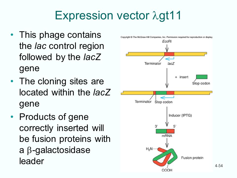 Expression vector lgt11 This phage contains the lac control region followed by the lacZ gene. The cloning sites are located within the lacZ gene.