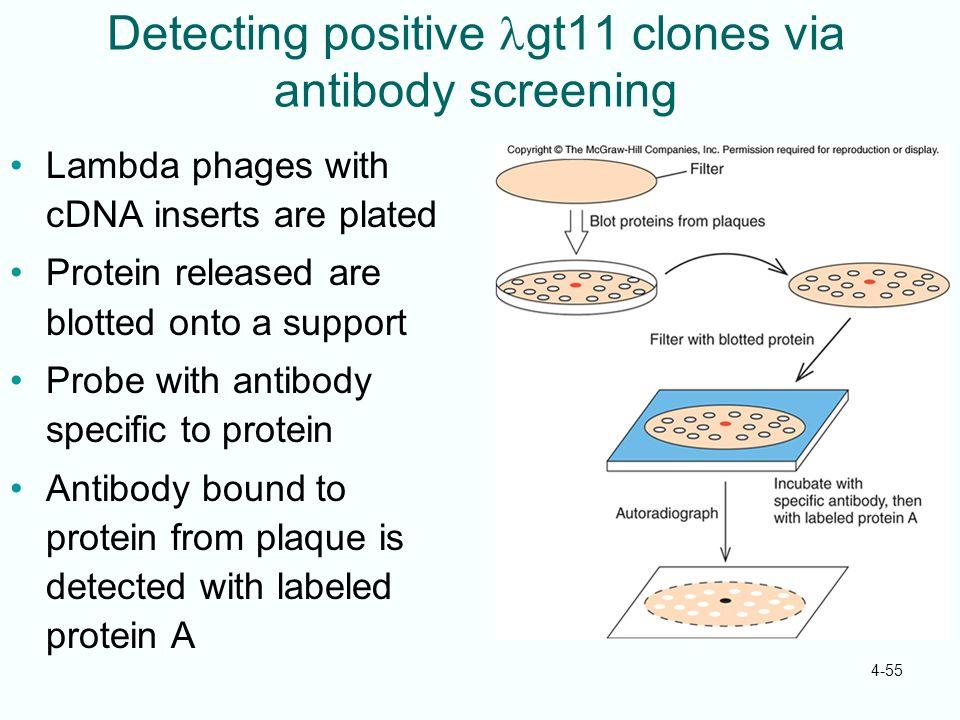 Detecting positive lgt11 clones via antibody screening