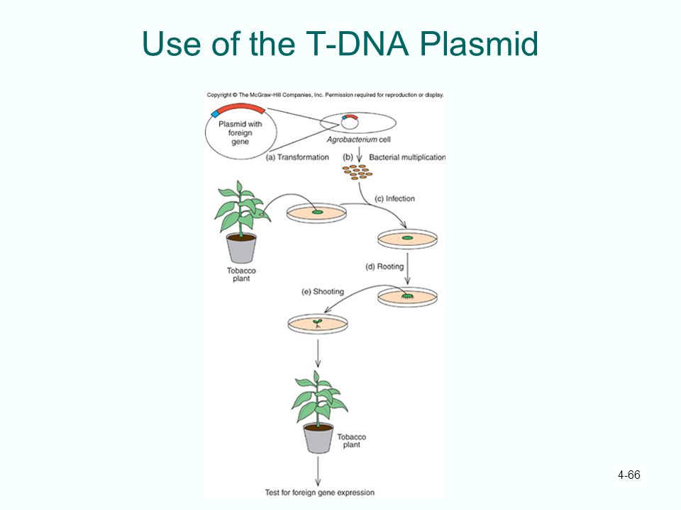 Use of the T-DNA Plasmid