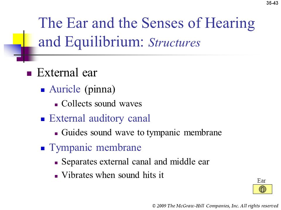The Ear and the Senses of Hearing and Equilibrium: Structures