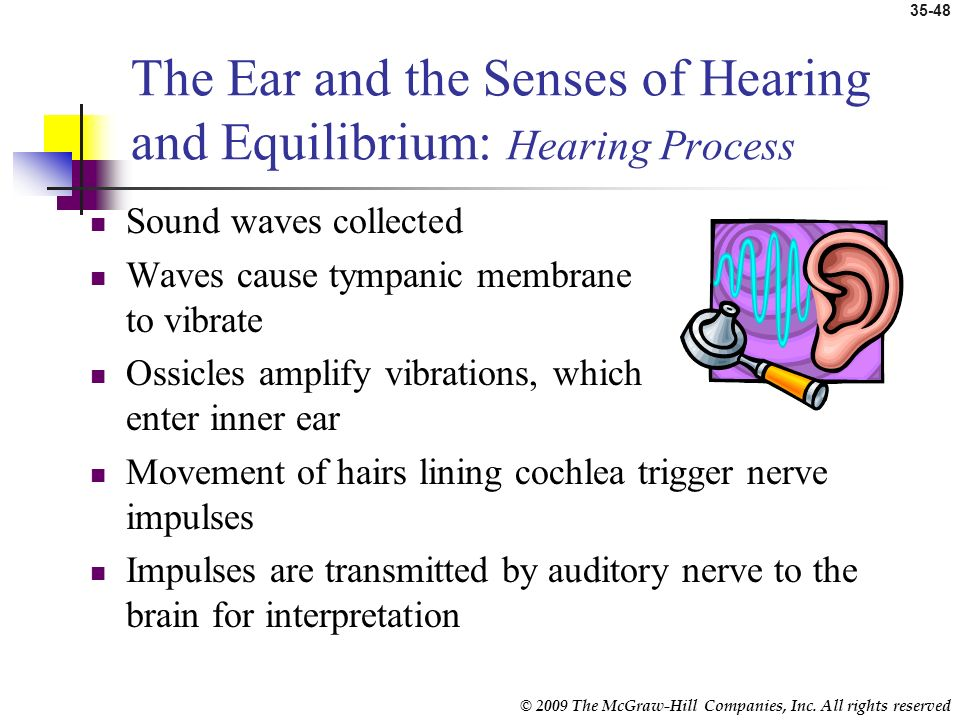The Ear and the Senses of Hearing and Equilibrium: Hearing Process