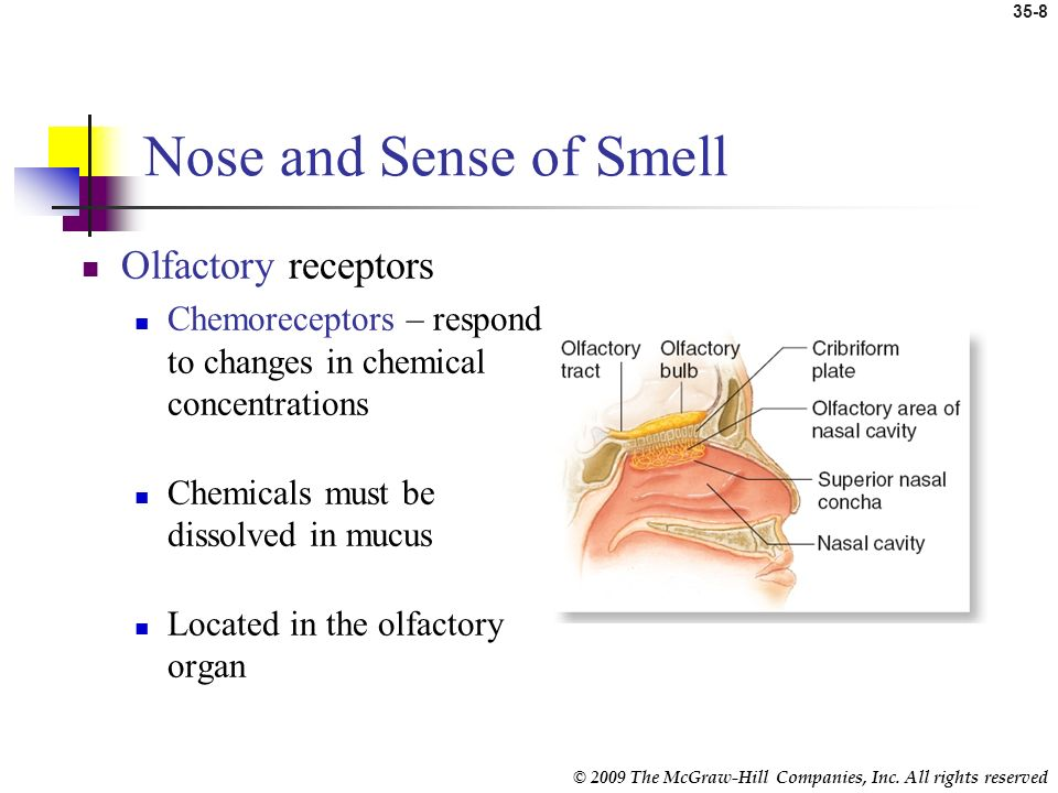 Nose and Sense of Smell Olfactory receptors