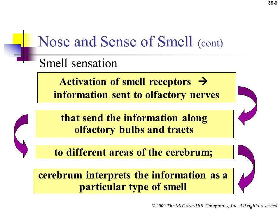 Nose and Sense of Smell (cont)