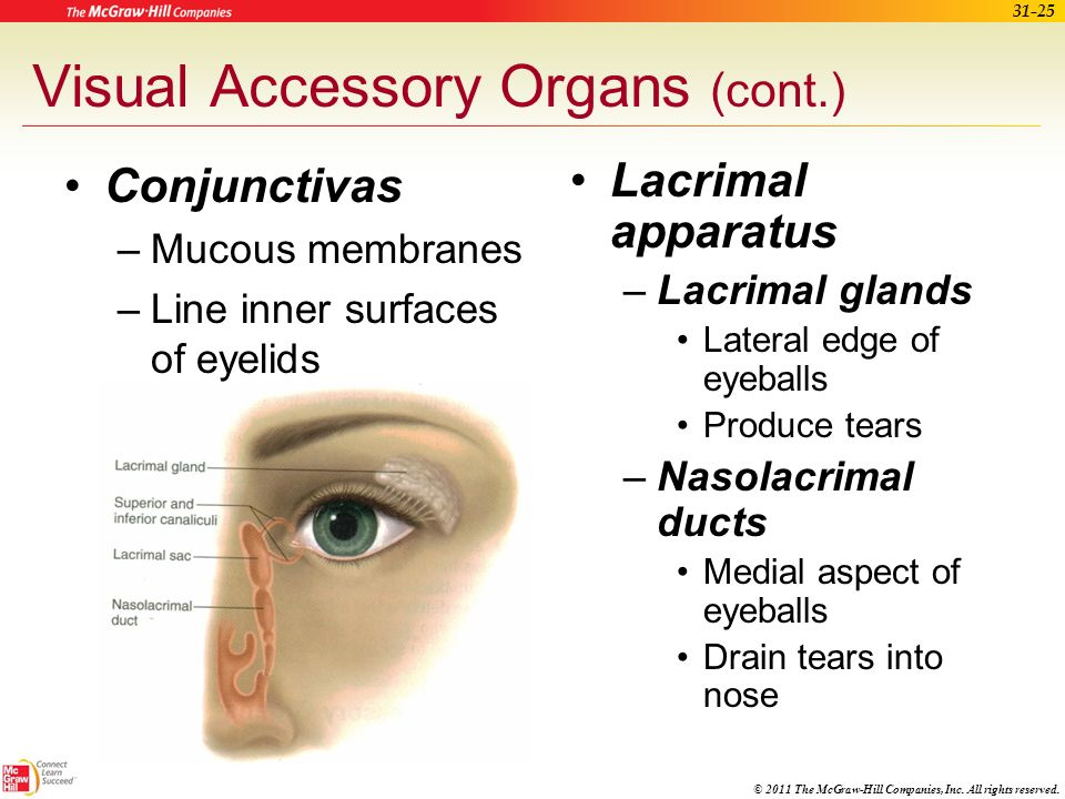 Visual Accessory Organs (cont.)