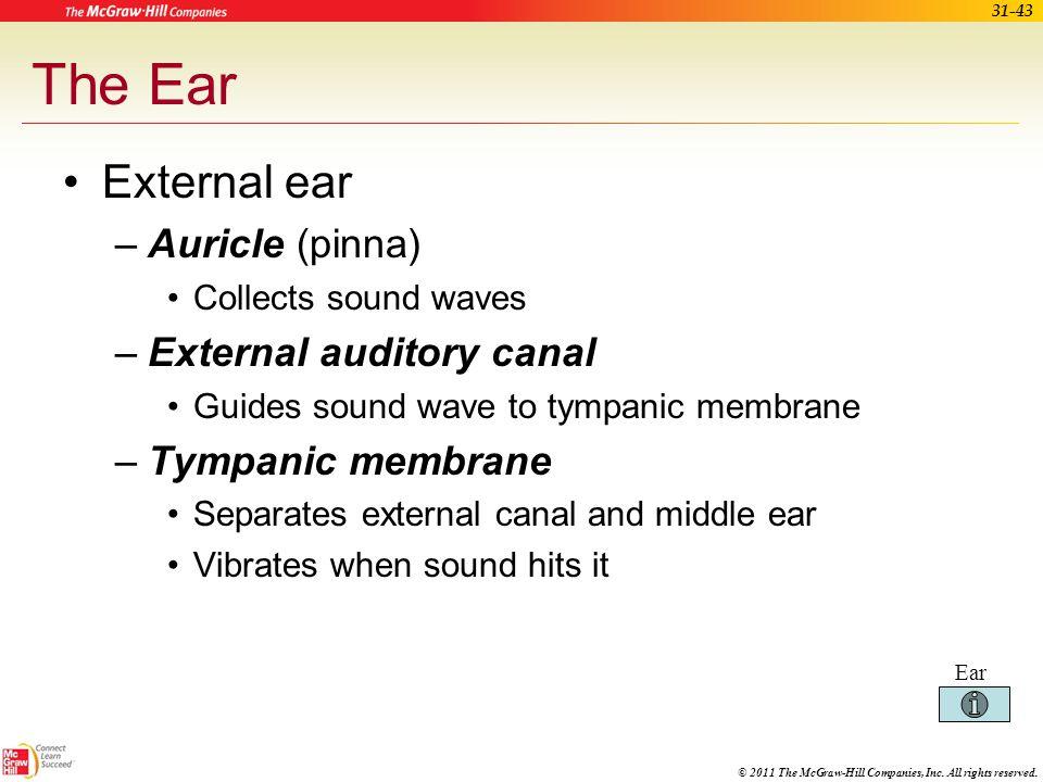The Ear External ear Auricle (pinna) External auditory canal