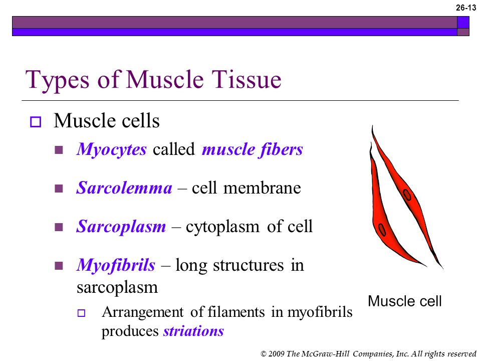 Types of Muscle Tissue Muscle cells Myocytes called muscle fibers