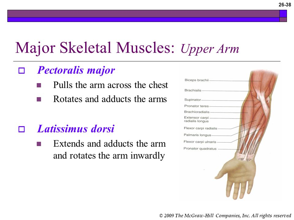 Major Skeletal Muscles: Upper Arm