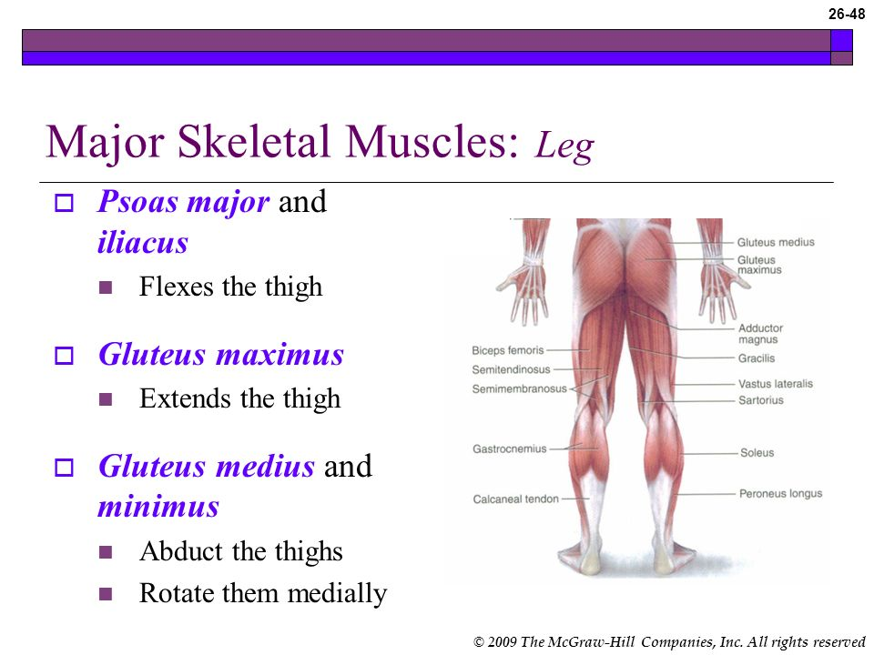 Major Skeletal Muscles: Leg
