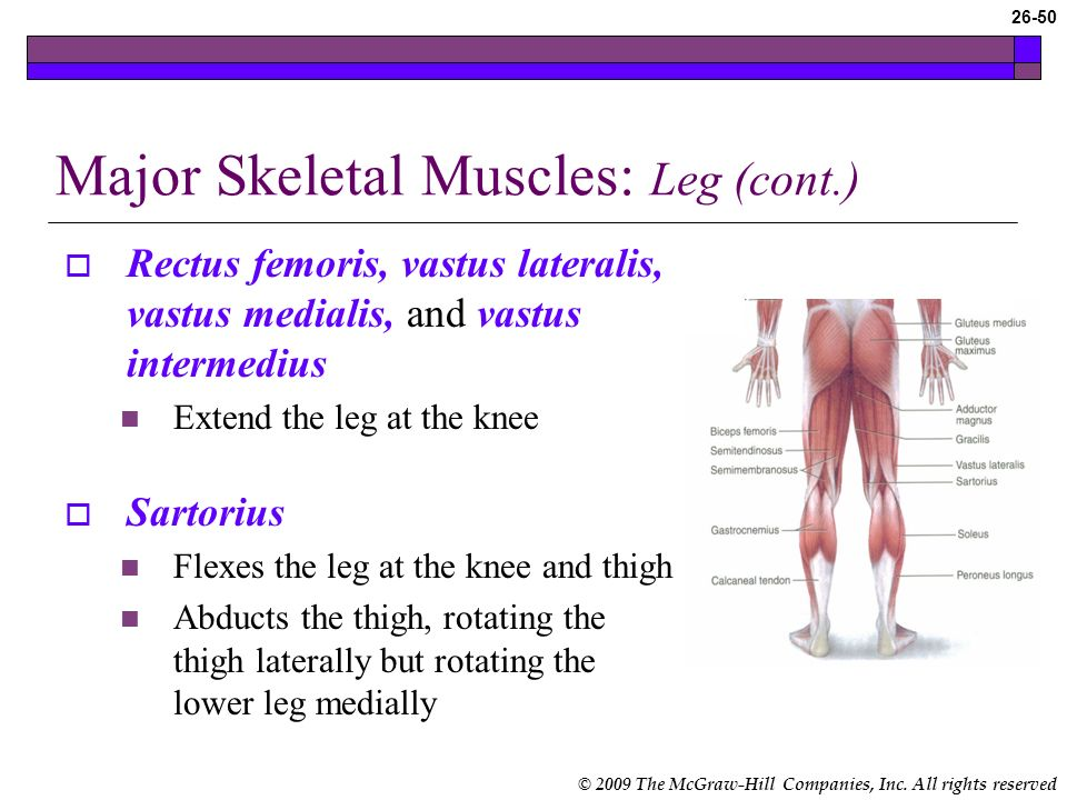 Major Skeletal Muscles: Leg (cont.)
