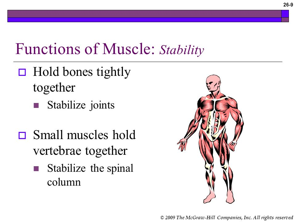 Functions of Muscle: Stability