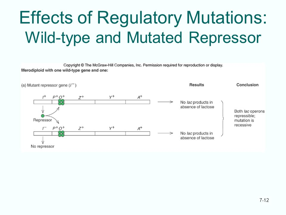 Effects of Regulatory Mutations: Wild-type and Mutated Repressor