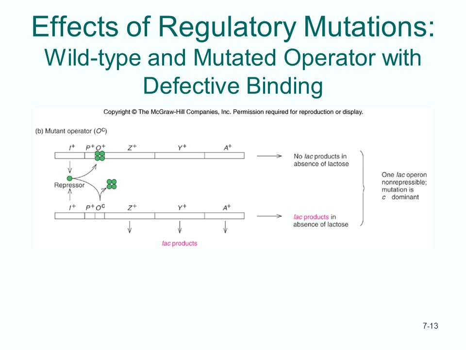 Effects of Regulatory Mutations: Wild-type and Mutated Operator with Defective Binding
