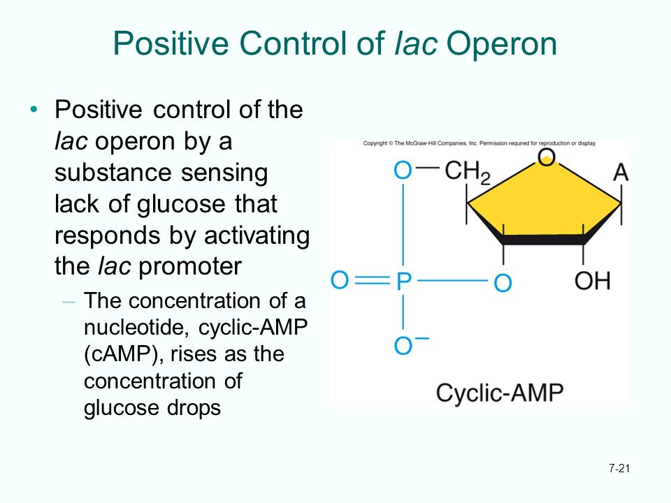 Positive Control of lac Operon