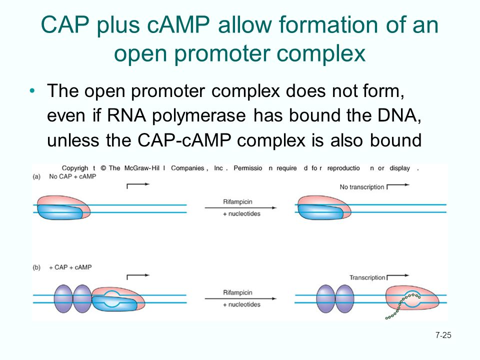 CAP plus cAMP allow formation of an open promoter complex