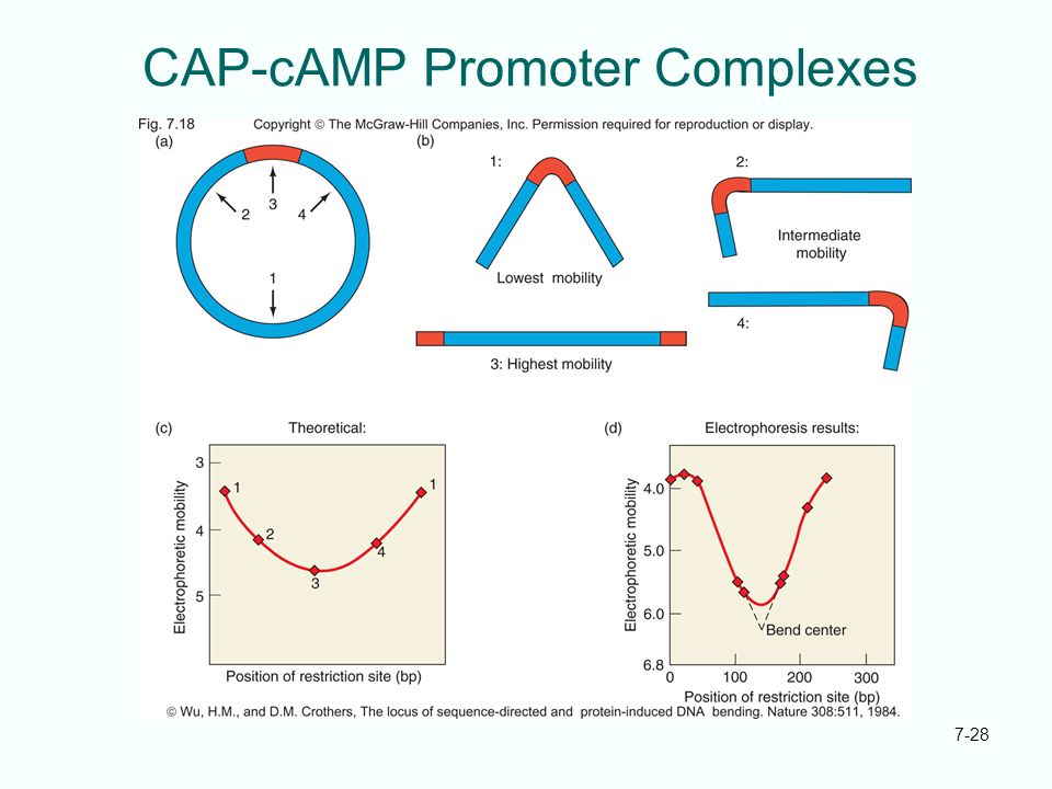 CAP-cAMP Promoter Complexes