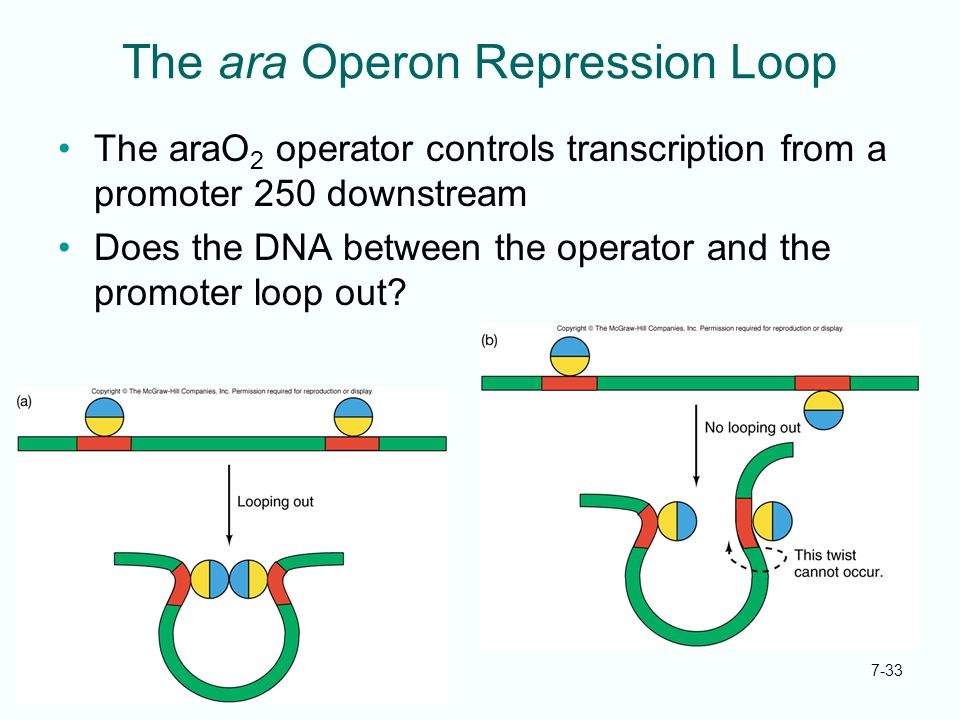 The ara Operon Repression Loop
