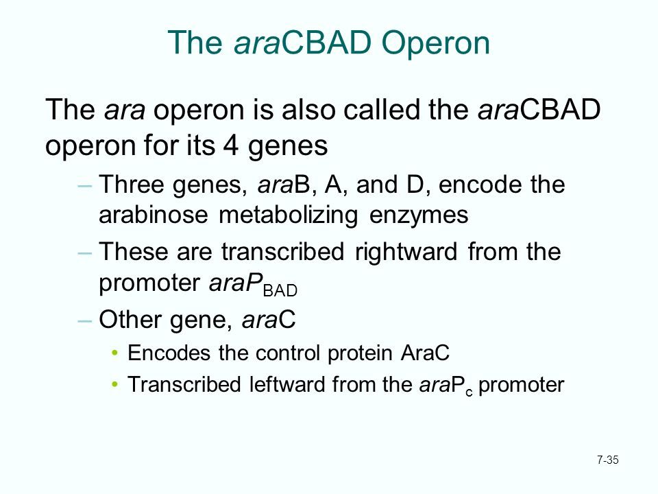 The araCBAD Operon The ara operon is also called the araCBAD operon for its 4 genes.