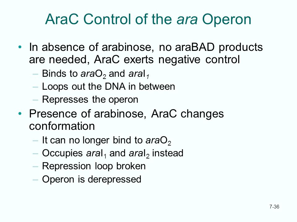 AraC Control of the ara Operon