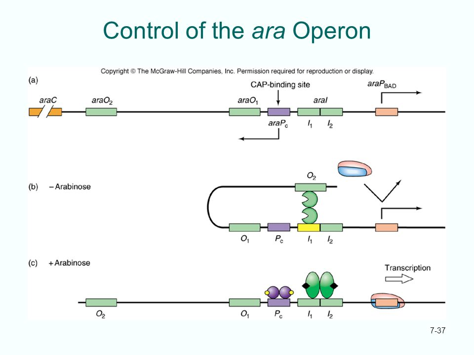 Control of the ara Operon