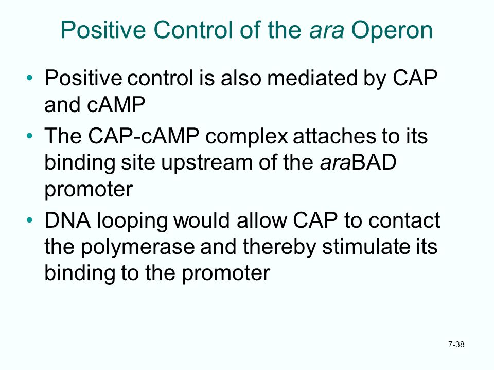 Positive Control of the ara Operon