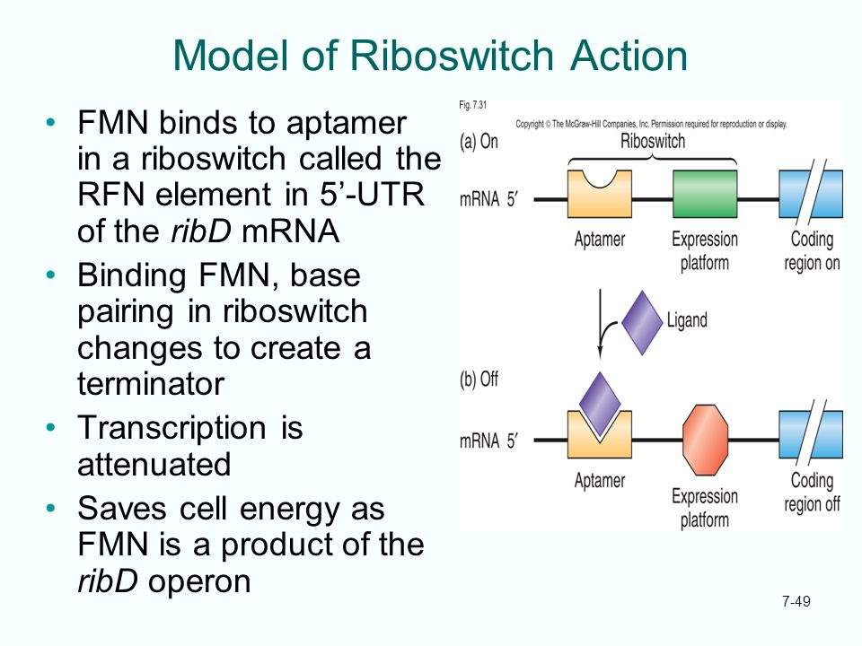 Model of Riboswitch Action