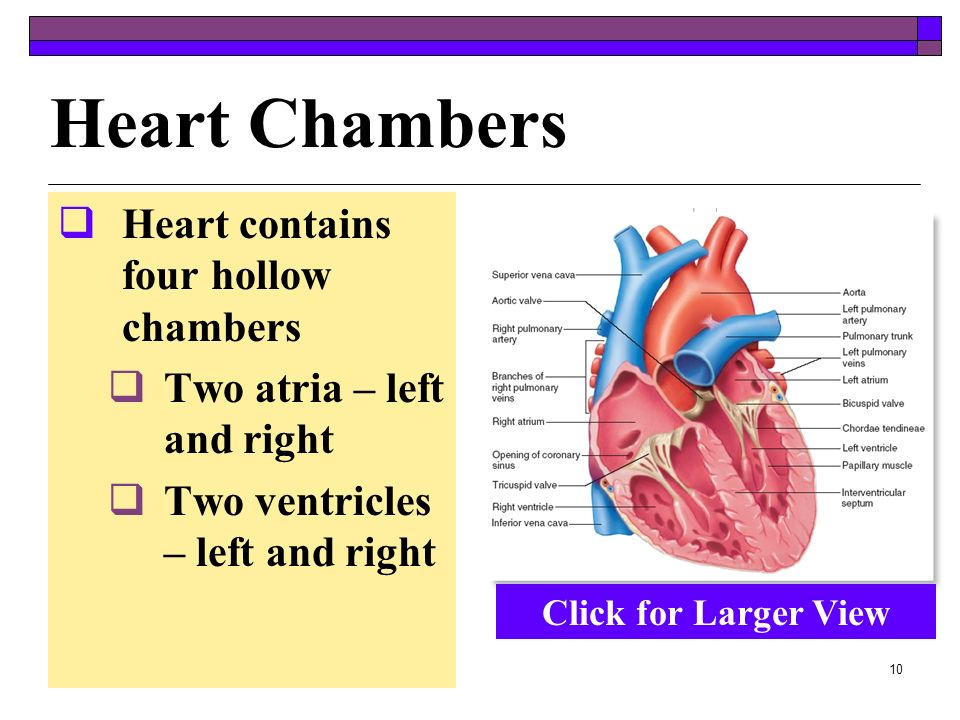 Heart Chambers Heart contains four hollow chambers