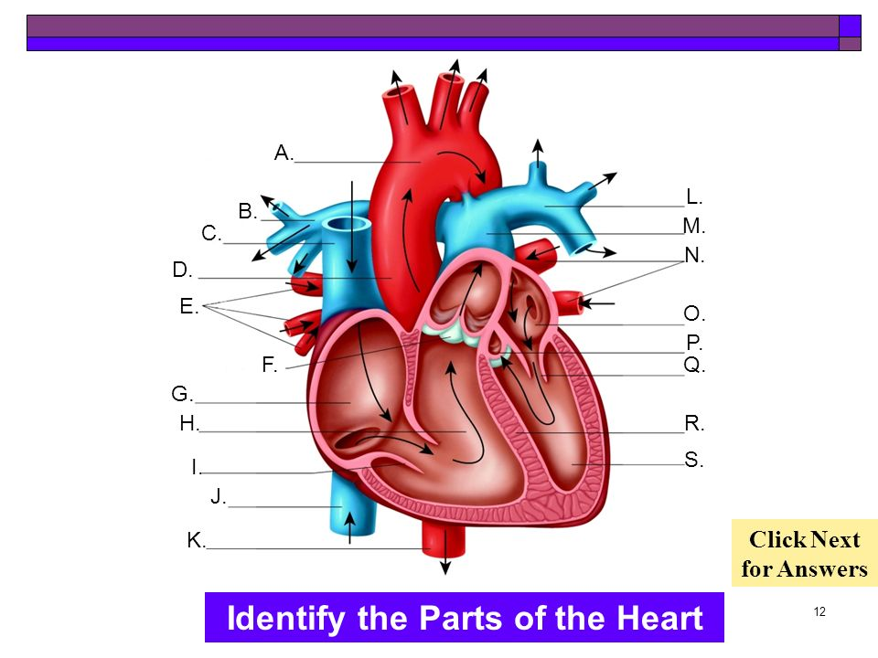 Identify the Parts of the Heart