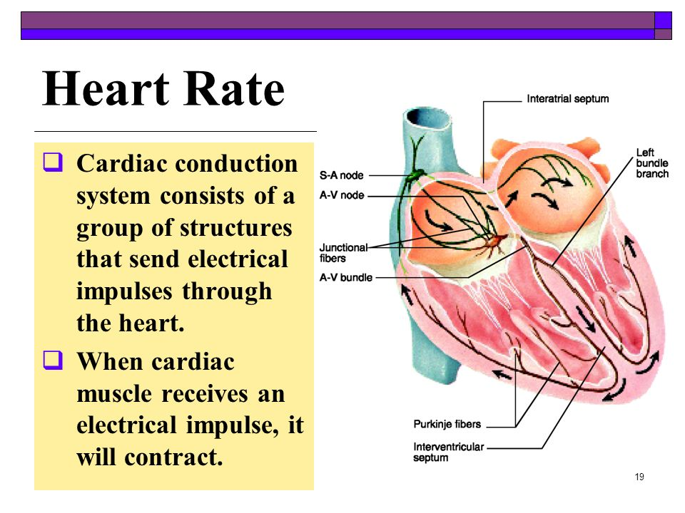 Heart Rate Cardiac conduction system consists of a group of structures that send electrical impulses through the heart.