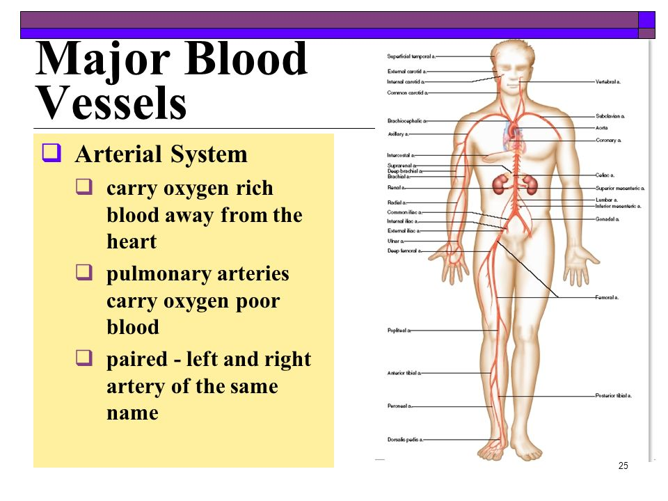 Major Blood Vessels Arterial System