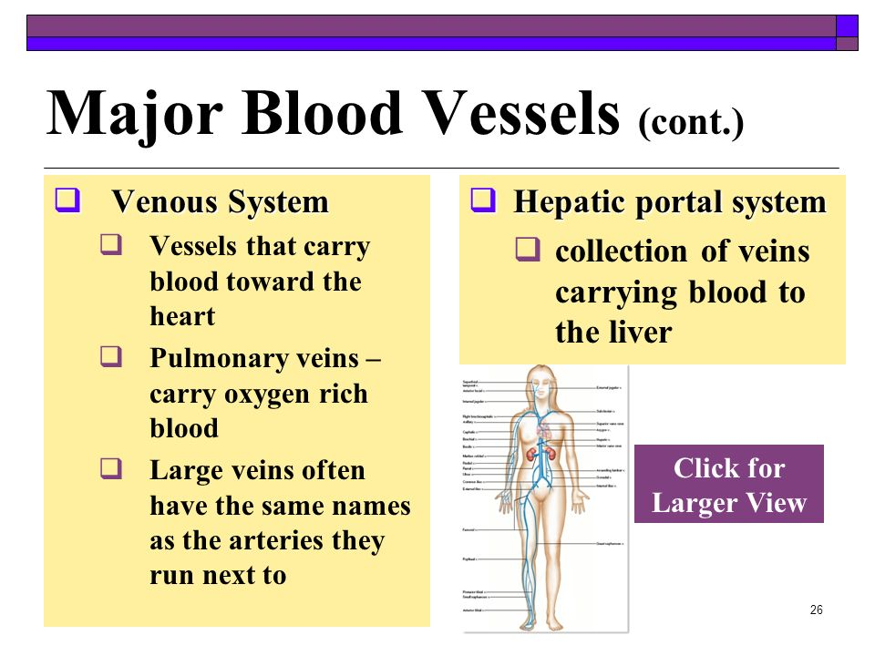 Major Blood Vessels (cont.)