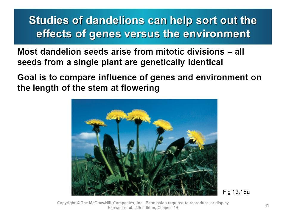 Studies of dandelions can help sort out the effects of genes versus the environment