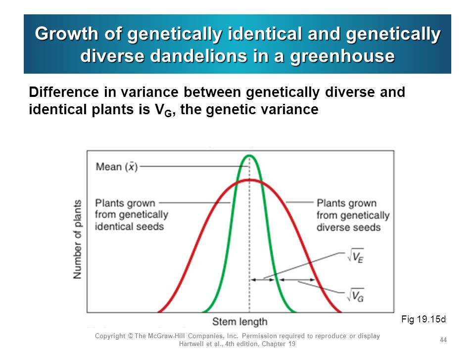 Growth of genetically identical and genetically diverse dandelions in a greenhouse