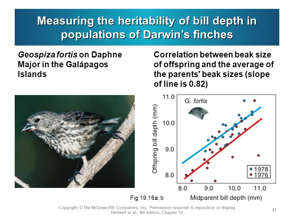Measuring the heritability of bill depth in populations of Darwin's finches