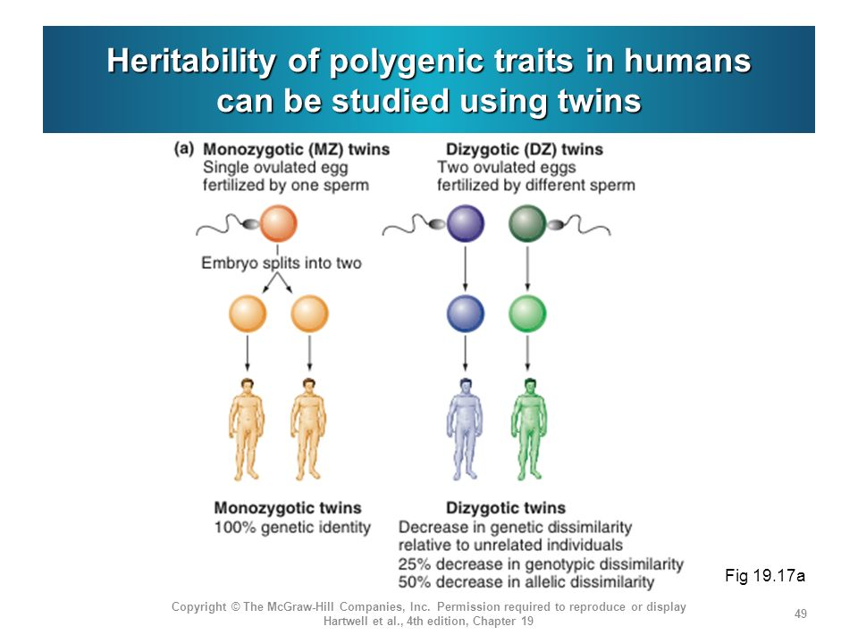 Heritability of polygenic traits in humans can be studied using twins