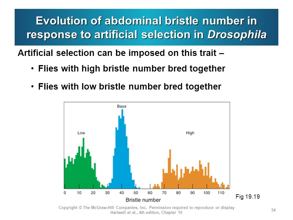 Evolution of abdominal bristle number in response to artificial selection in Drosophila