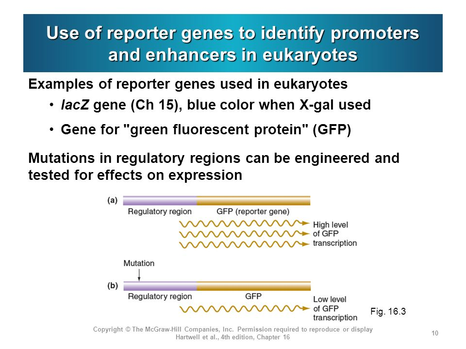 Use of reporter genes to identify promoters and enhancers in eukaryotes
