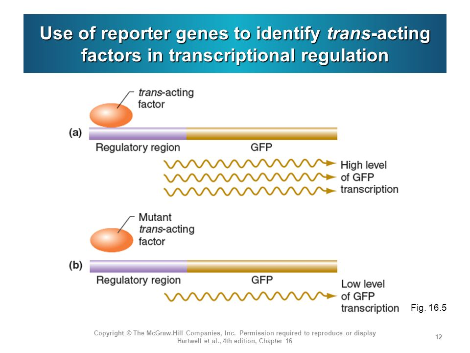 Use of reporter genes to identify trans-acting factors in transcriptional regulation
