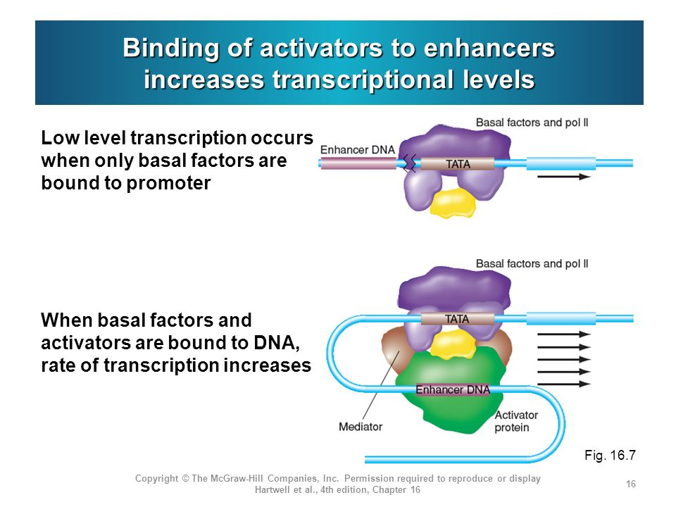 Binding of activators to enhancers increases transcriptional levels