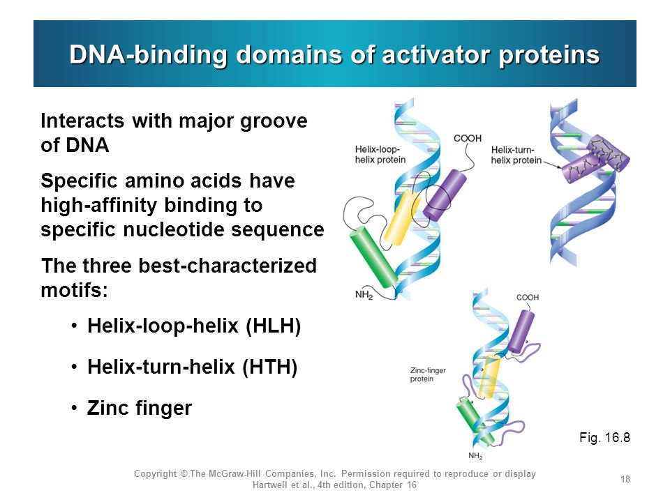 DNA-binding domains of activator proteins